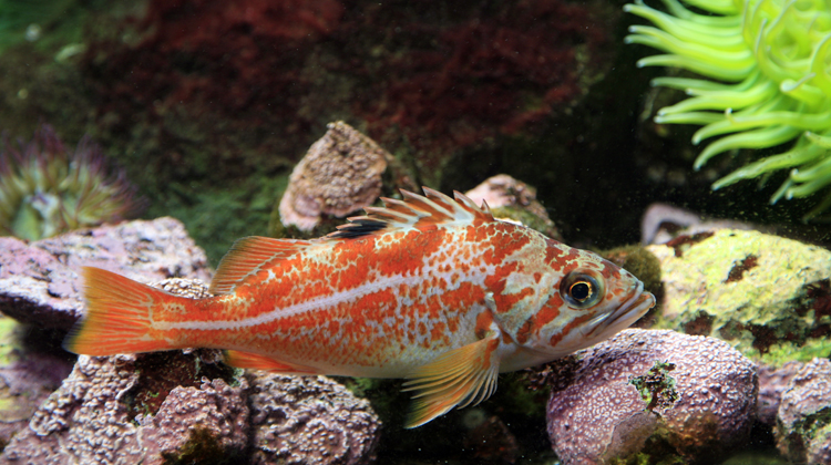 Сanary rockfish in the rocks wallpaper