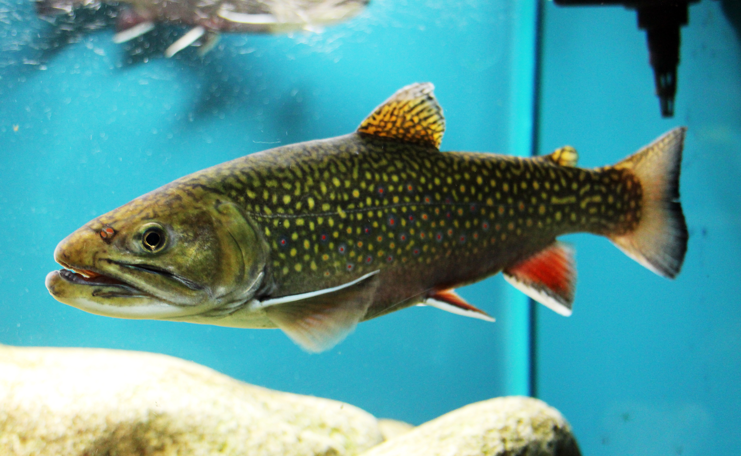 Brook trout aquarium wallpaper