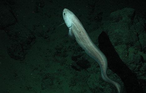 Cusk-eel  wallpaper