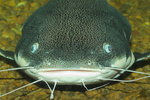 Face catfish