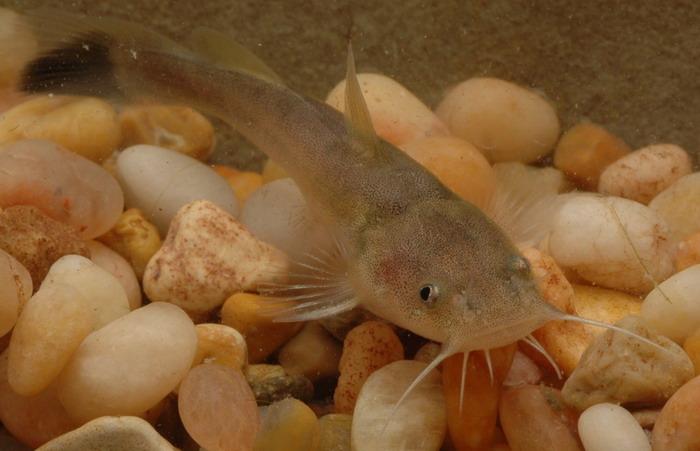 Flathead catfish in the rocks wallpaper