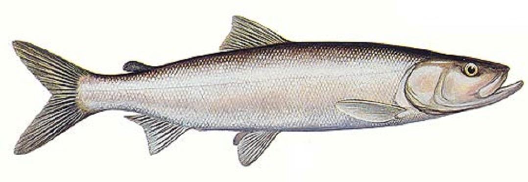 Рыбка Инкону фото