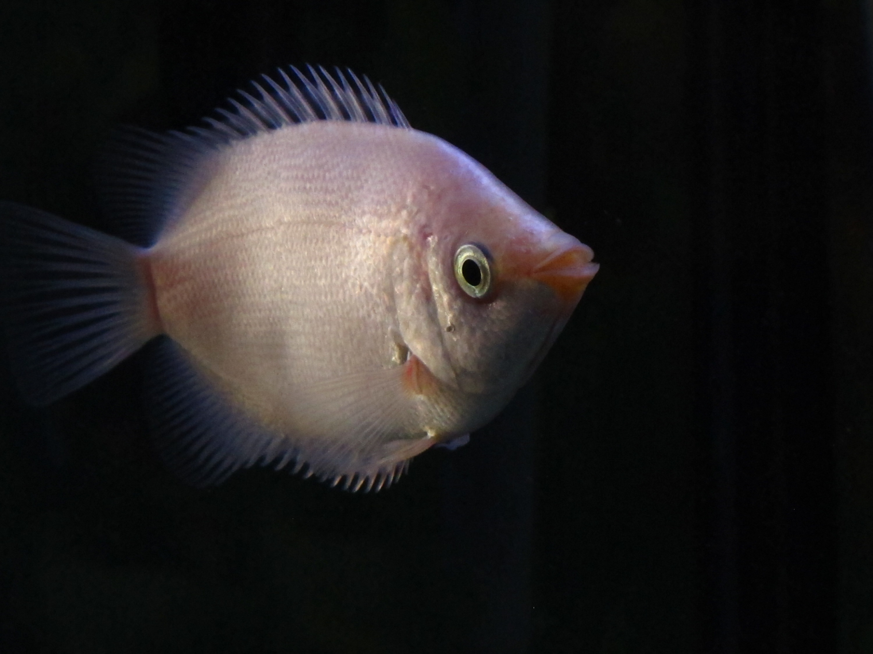 Kissing gourami wallpaper