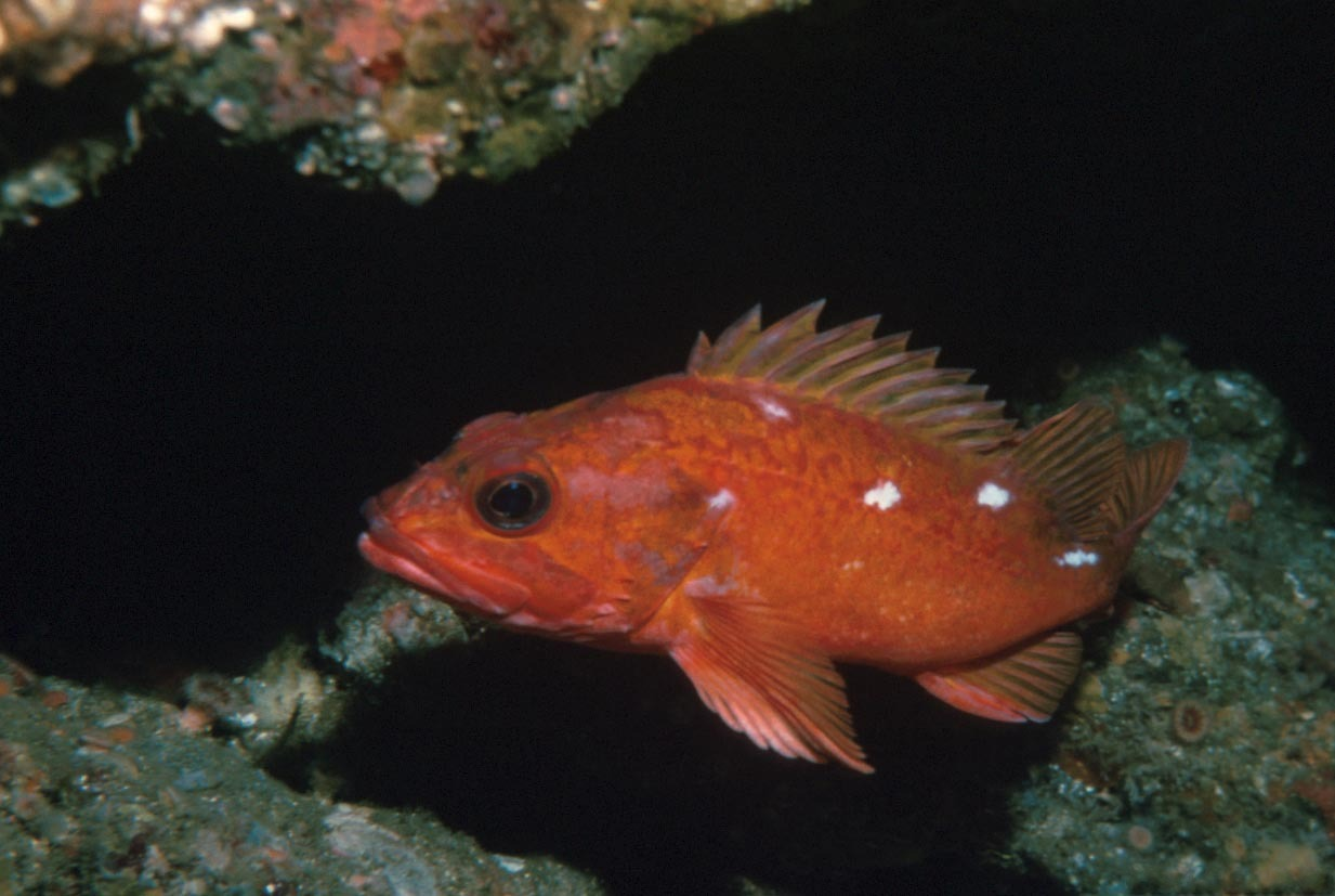 Ocean perch swims photo and wallpaper cute ocean perch for Ocean perch fish