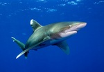 Oceanic whitetip shark swims