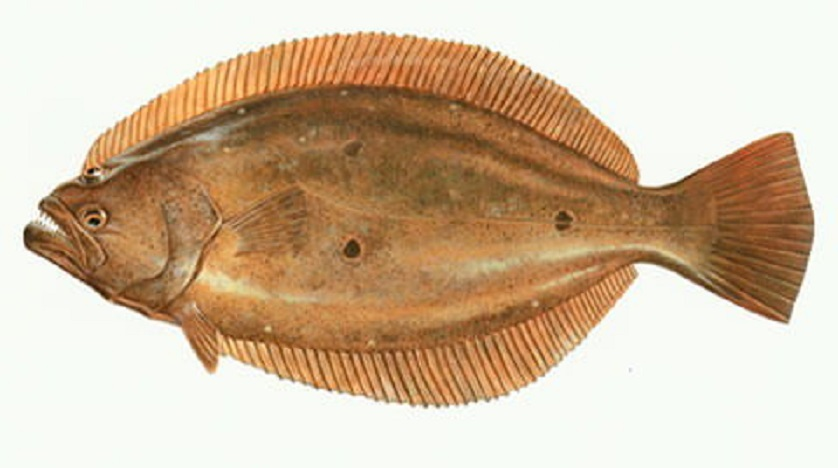 Olive flounder wallpaper