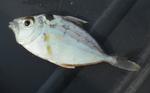 Ponyfish
