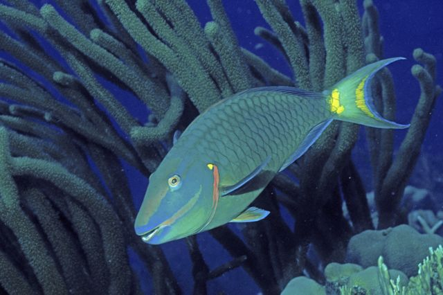Queen parrotfish swims wallpaper