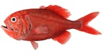 Red roughy