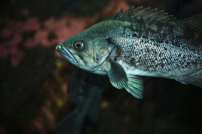 Rock cod swims photo and wallpaper cute rock cod swims for Rock cod fish
