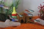 Стая рыб Тетра