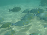 A flock of Yellowfin surgeonfish