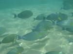 Стая Желтоперых рыб-хирургов