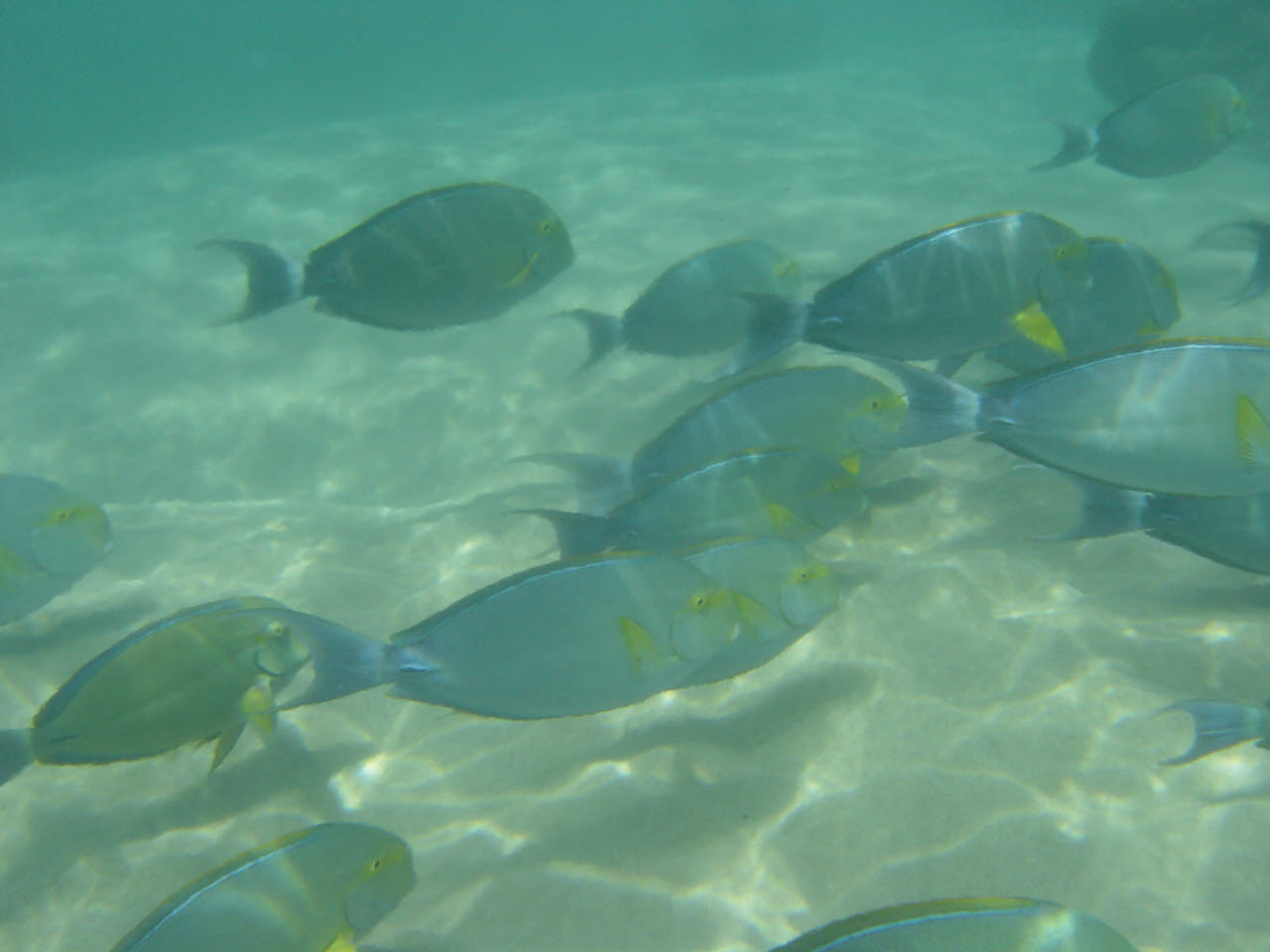 A flock of Yellowfin surgeonfish wallpaper