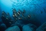 Afar oldwife fishes