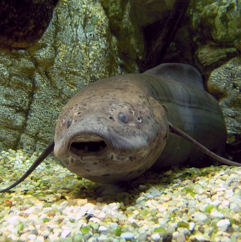 African lungfish wallpaper