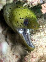 Aggressive Yellow moray