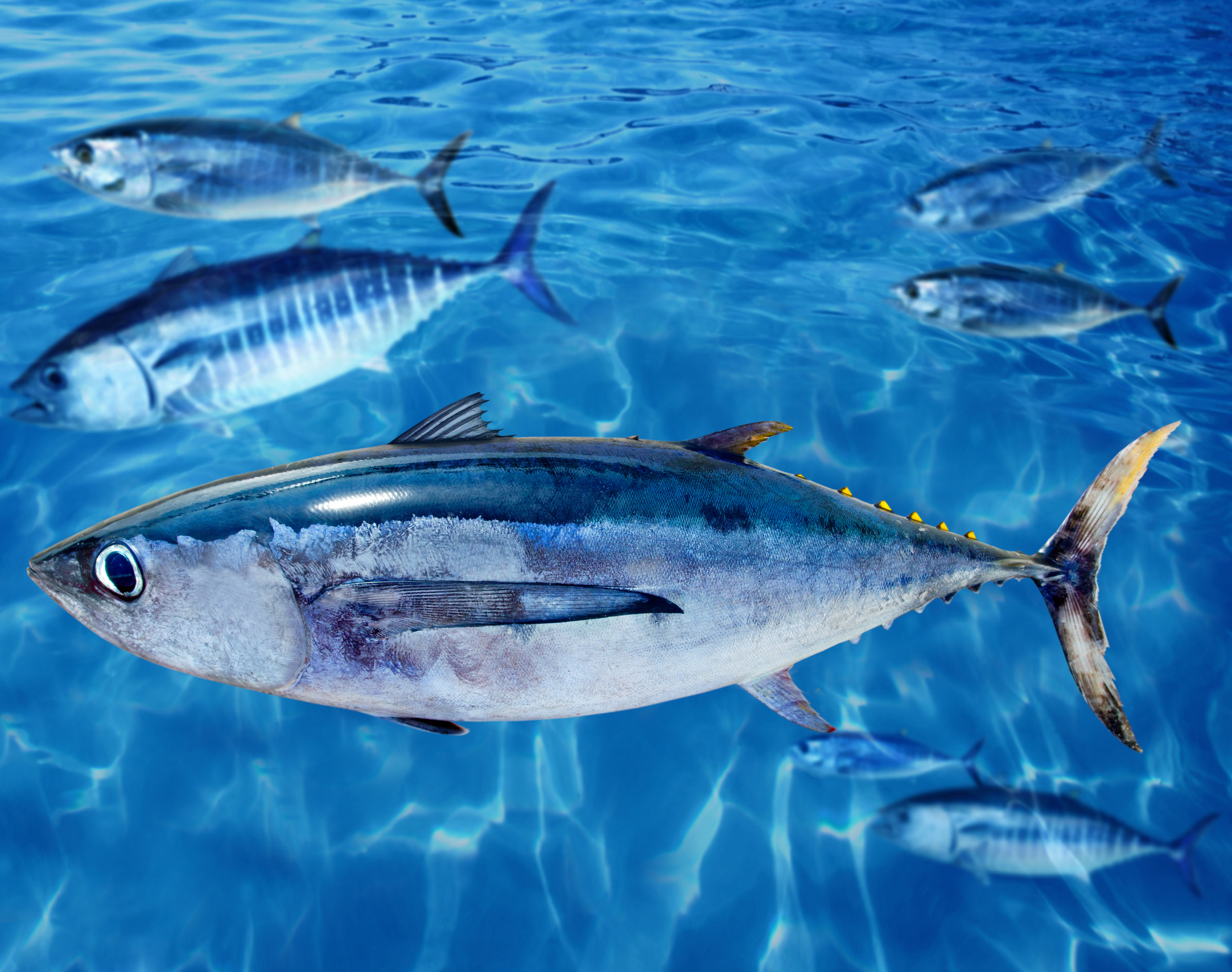 Альбакор в океане фото