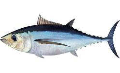 Albacore wallpaper