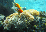 Anemonefish in Maldive