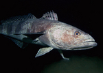 Antarctic icefish in ocean