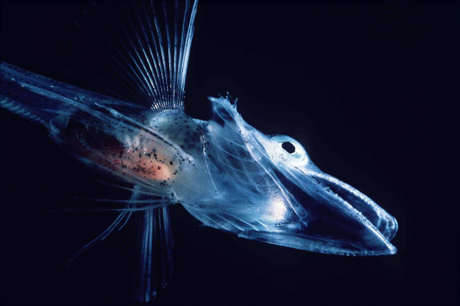 Antarctic icefish wallpaper