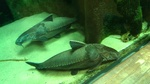 Aquarium Armorhead catfish