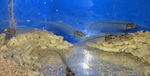 Aquarium catsfish