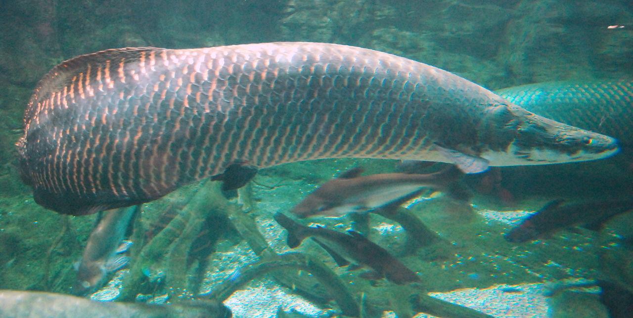 Arapaima aquarium wallpaper