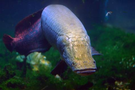 Arapaima bottom wallpaper