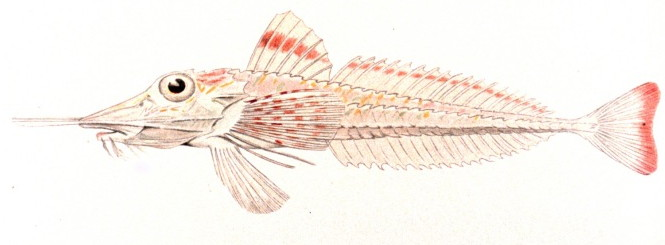 Armored gurnard wallpaper