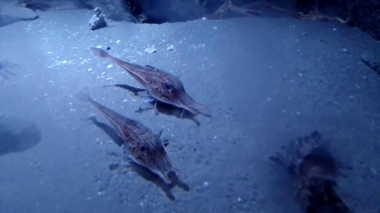 морской толстолобик фото