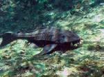Armorhead catfish
