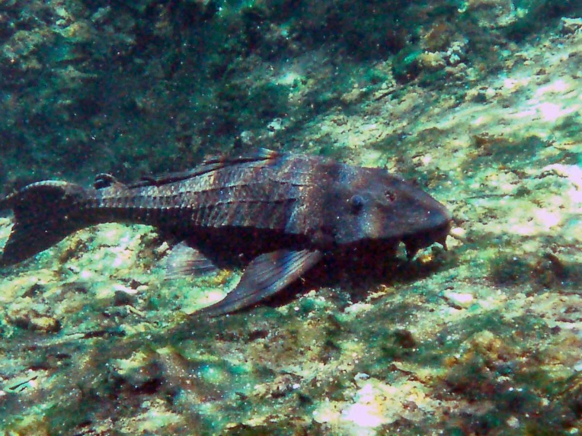 Armorhead catfish wallpaper