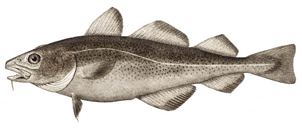 Atlantic cod wallpaper