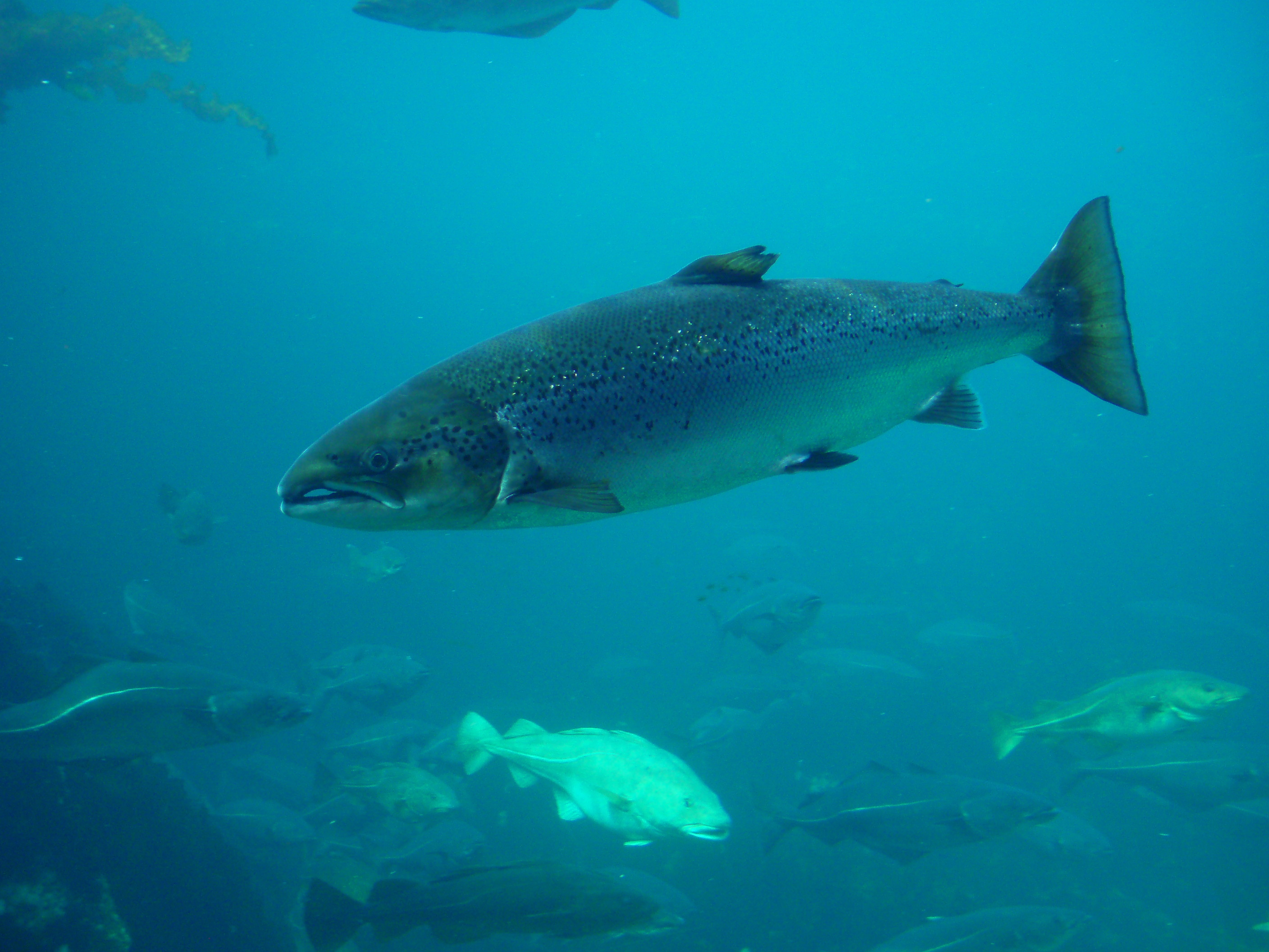 Atlantic salmon wallpaper