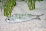 Australian herring
