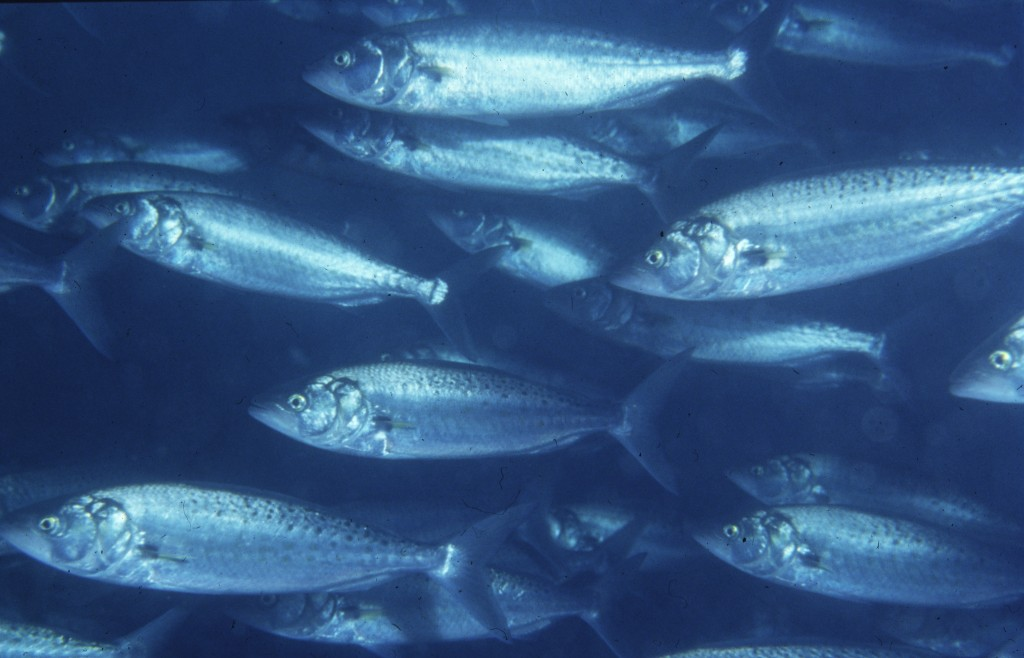 Australian salmon wallpaper