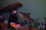 Акулий бала в аквариуме