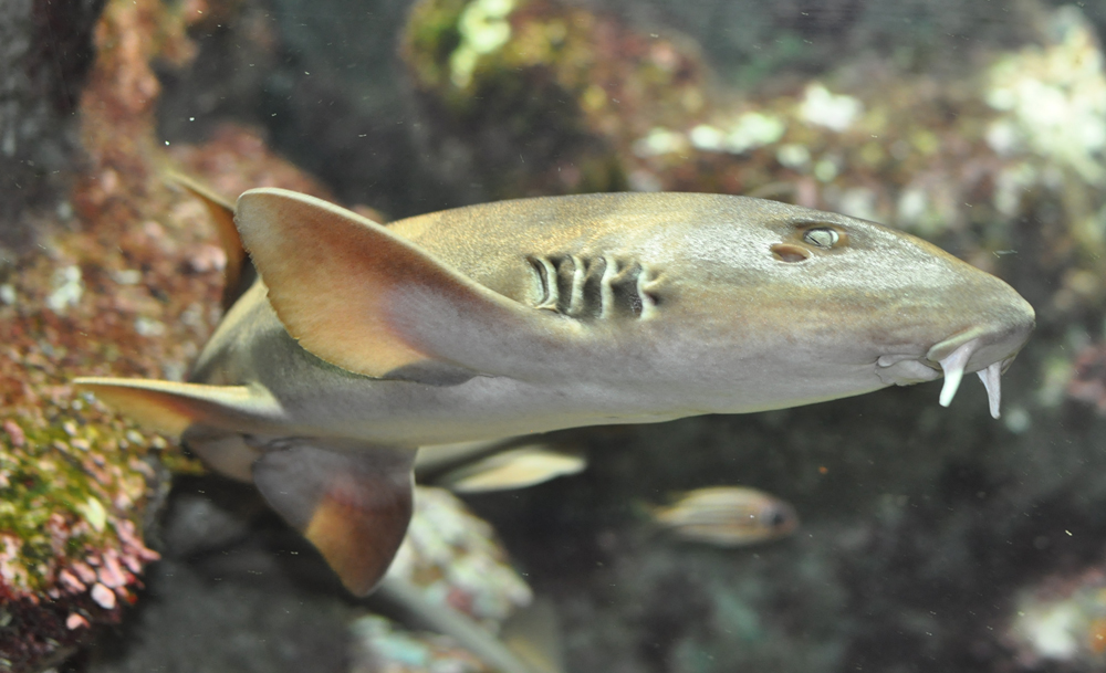 Bamboo shark wallpaper