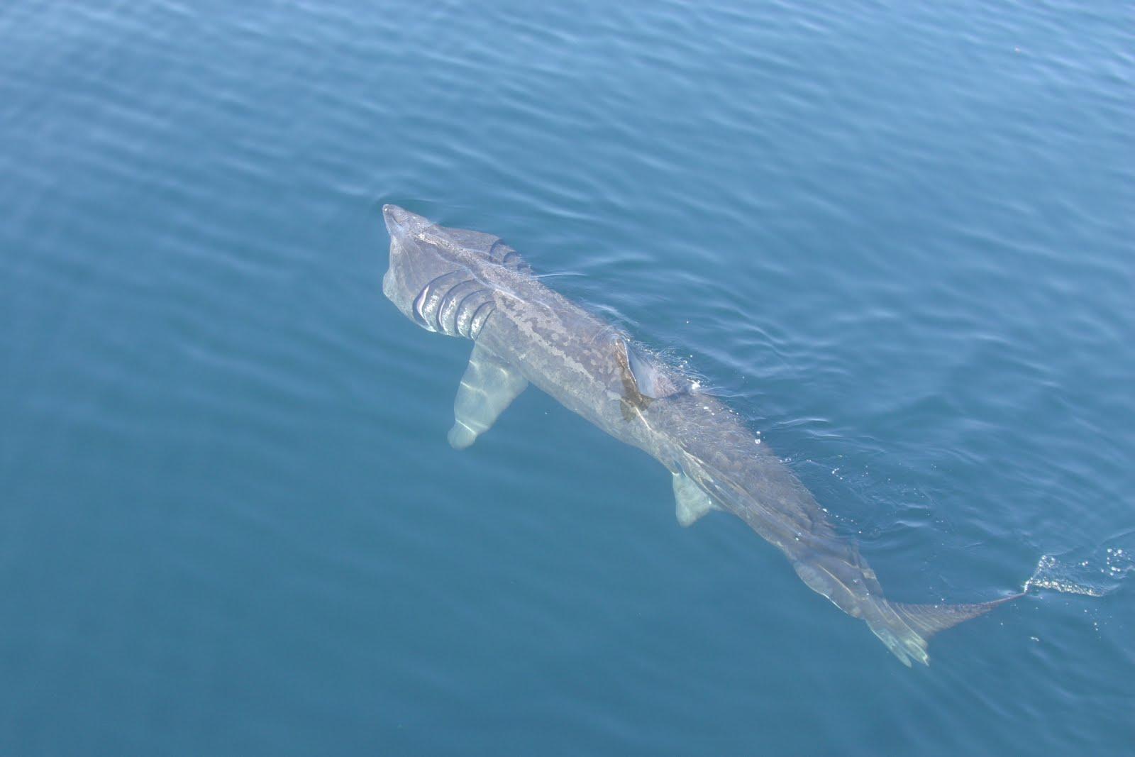 Basking shark top  wallpaper