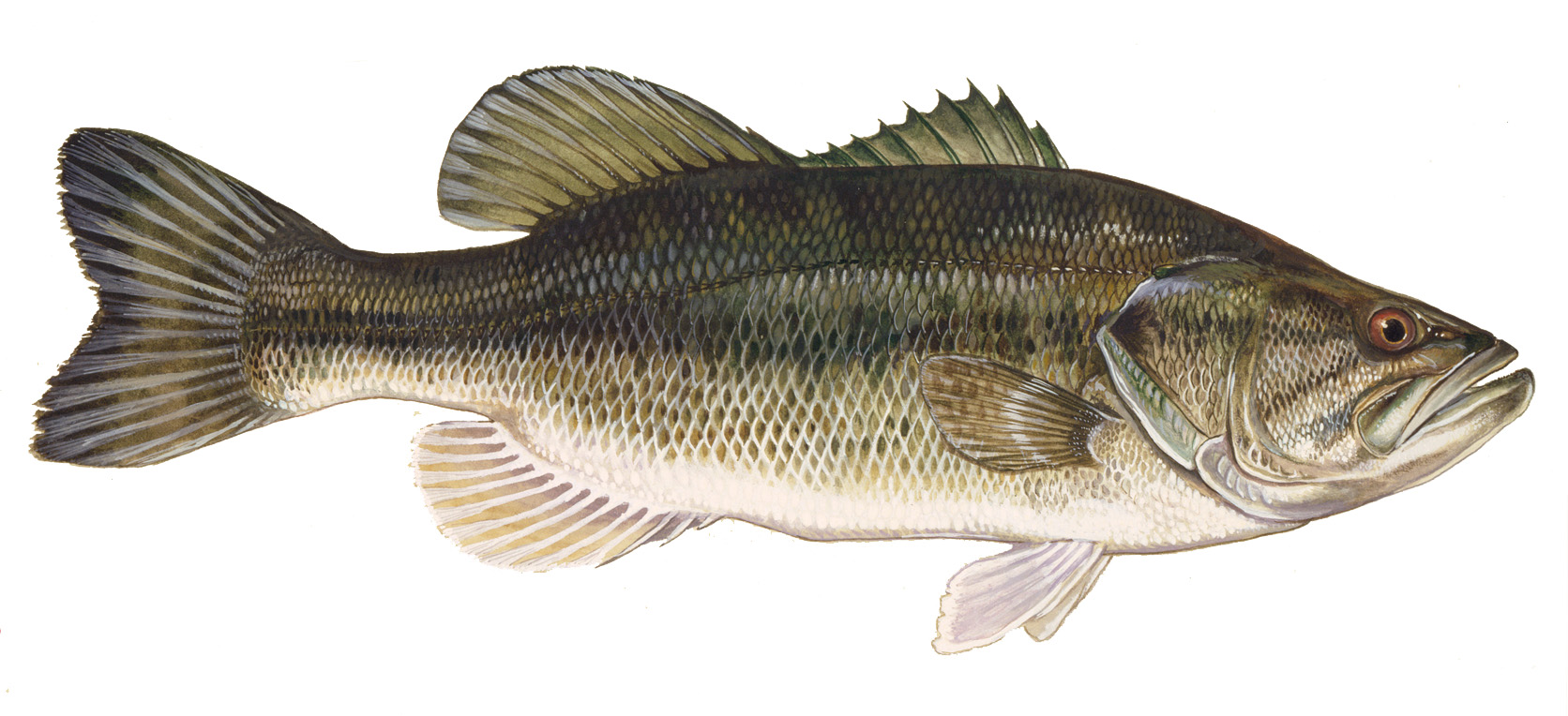 Bass fish photo and wallpaper cute bass fish pictures for Cute freshwater fish