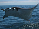 Bat ray jumping