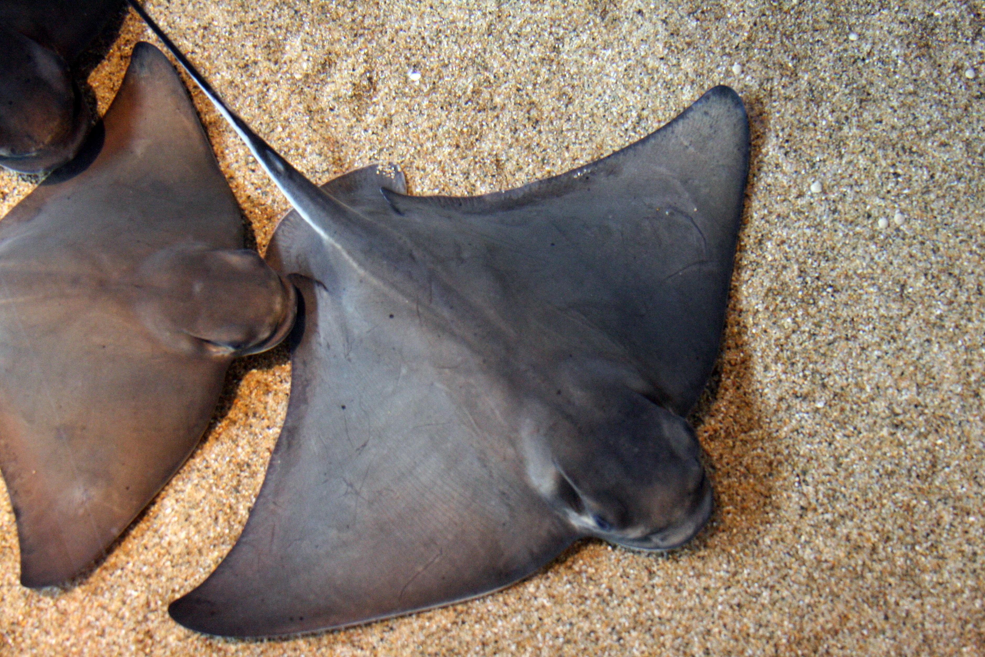 Bat ray wallpaper