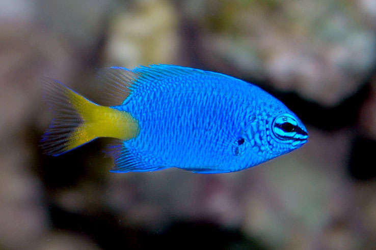 Beautiful damselfish  wallpaper