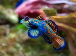 Beautiful dragonet