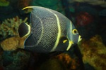 Beautiful french angelfish