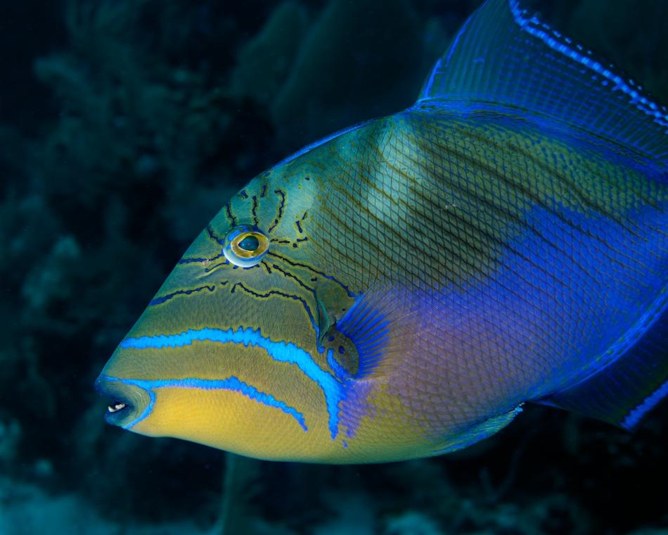 Красивая рыба спинорог-королевский фото