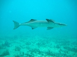 Beautiful Remora