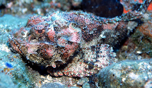 Beautiful Scorpionfish wallpaper